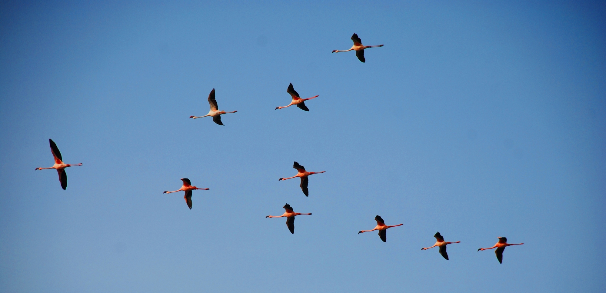 flying flamingo flock