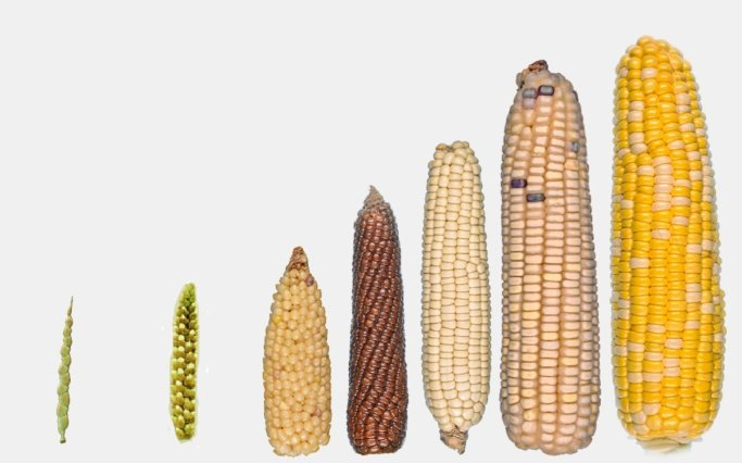 Cornvolution